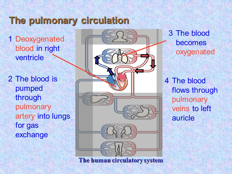 Lung All other parts of the body The mammalian circulation plan Double circulation in mammals Heart Blood Blood vessels Circulatory system pulmonary circulation systemic circulation As blood passes through heart twice, this also known as double circulation