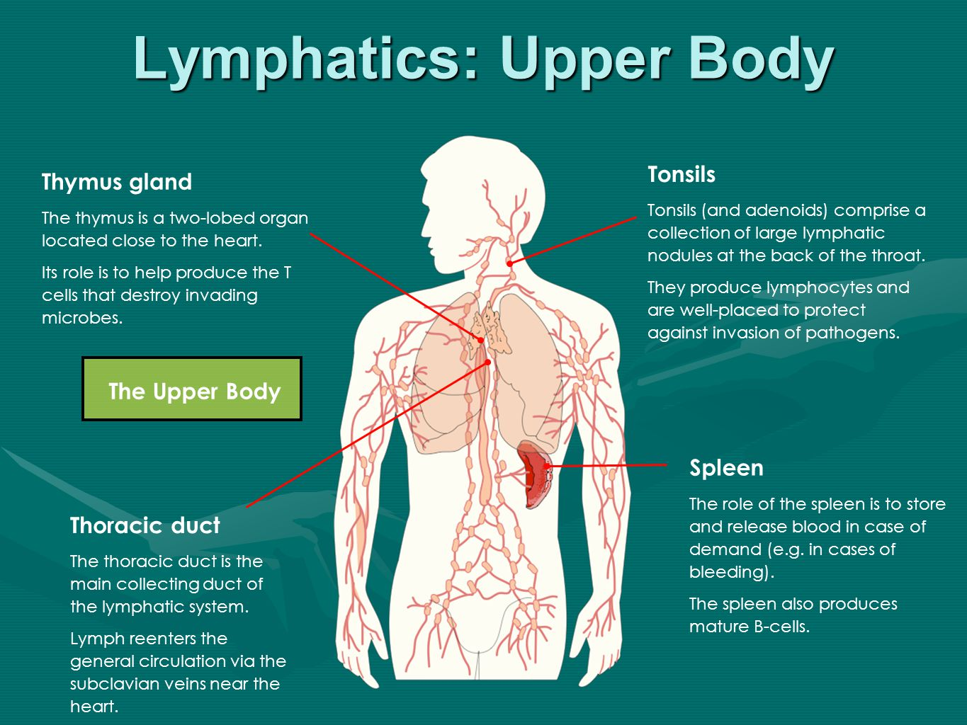 The Lymphatic System Aims: Must be able to outline the main ...