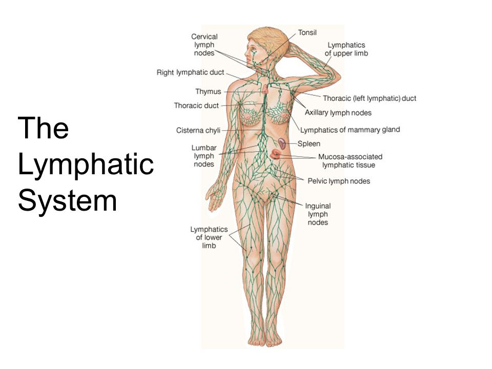 The Lymphatic System. Roles of the Lymphatic System 1)One-way ...