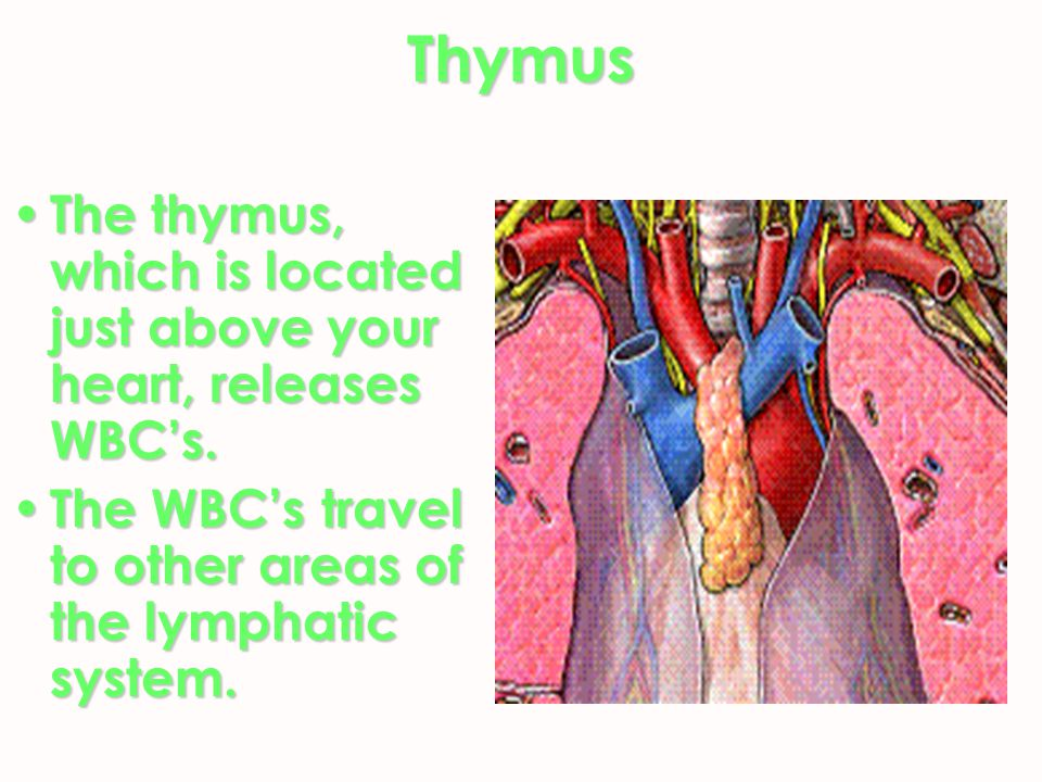 Thymus The thymus, which is located just above your heart, releases WBC's.