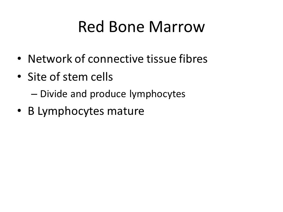 Network of connective tissue fibres Site of stem cells – Divide and produce lymphocytes B Lymphocytes mature