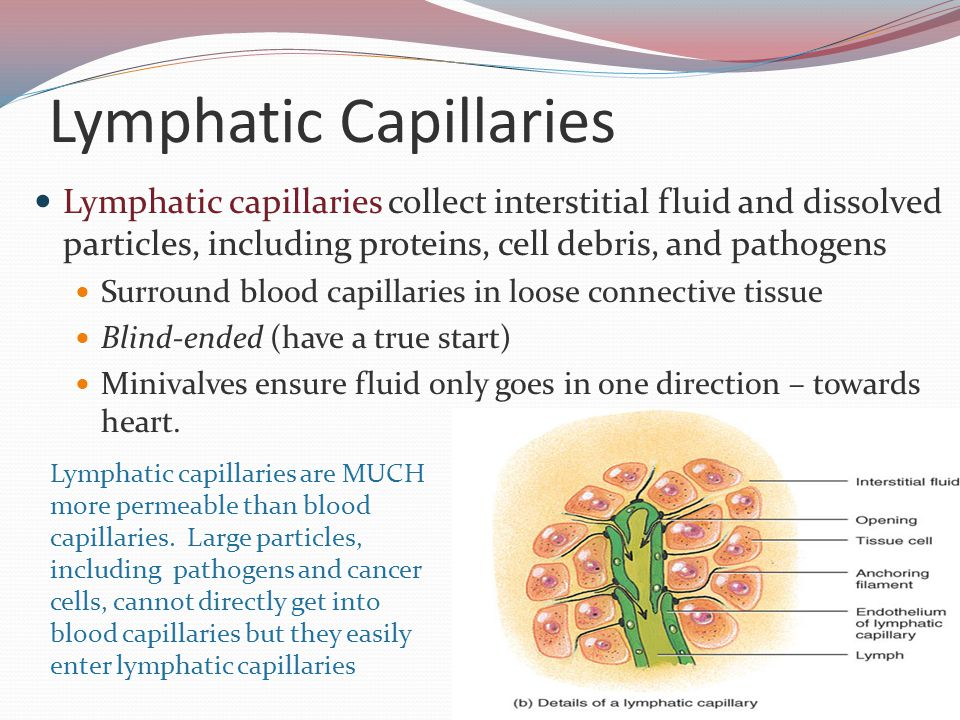 Lymphatic Capillaries Lymphatic capillaries collect interstitial fluid and dissolved particles, including proteins, cell debris, and pathogens Surround blood capillaries in loose connective tissue Blind-ended (have a true start) Minivalves ensure fluid only goes in one direction – towards heart.