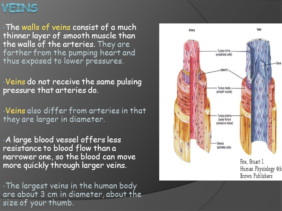 The walls of veins consist of a much thinner layer of smooth muscle than the walls of the arteries.