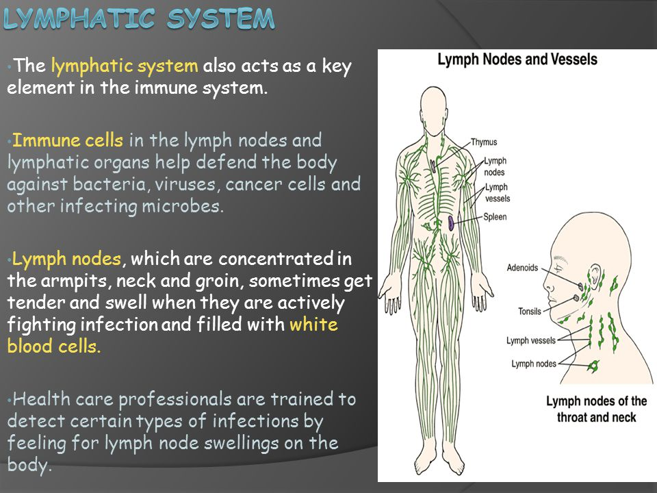 The lymphatic system also acts as a key element in the immune system.