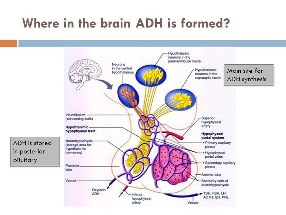 Where in the brain ADH is formed Main site for ADH synthesis ADH is stored in posterior pituitary