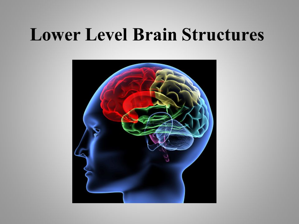 Lower Level Brain Structures