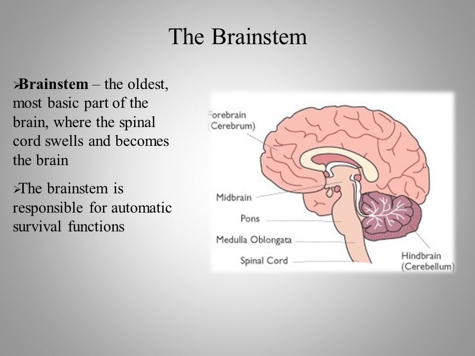 The Brainstem  Brainstem – the oldest, most basic part of the brain, where the spinal cord swells and becomes the brain  The brainstem is responsible for automatic survival functions
