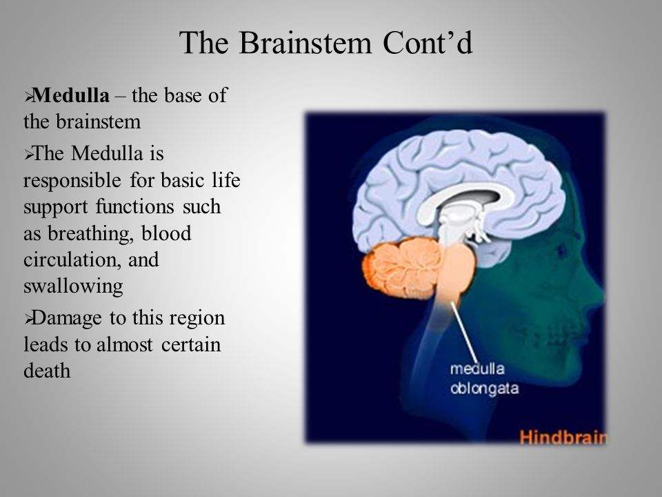 The Brainstem Cont'd  Medulla – the base of the brainstem  The Medulla is responsible for basic life support functions such as breathing, blood circulation, and swallowing  Damage to this region leads to almost certain death
