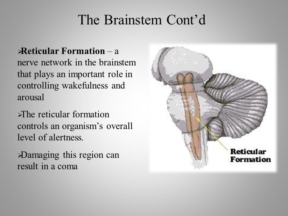 The Brainstem Cont'd  Reticular Formation – a nerve network in the brainstem that plays an important role in controlling wakefulness and arousal  The reticular formation controls an organism's overall level of alertness.