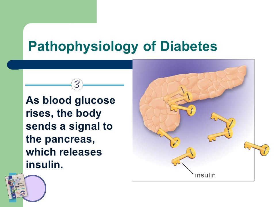 Pathophysiology of Diabetes As blood glucose rises, the body sends a signal to the pancreas, which releases insulin.