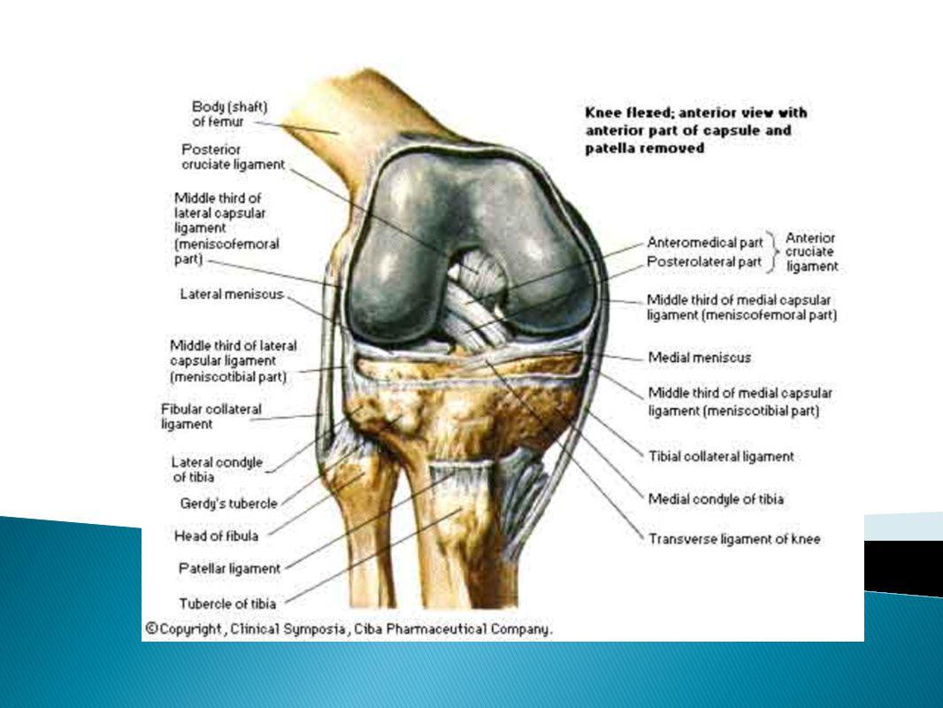 Bones o Femur, Tibia, Patella Ligaments o Anterior Cruciate Ligament ...