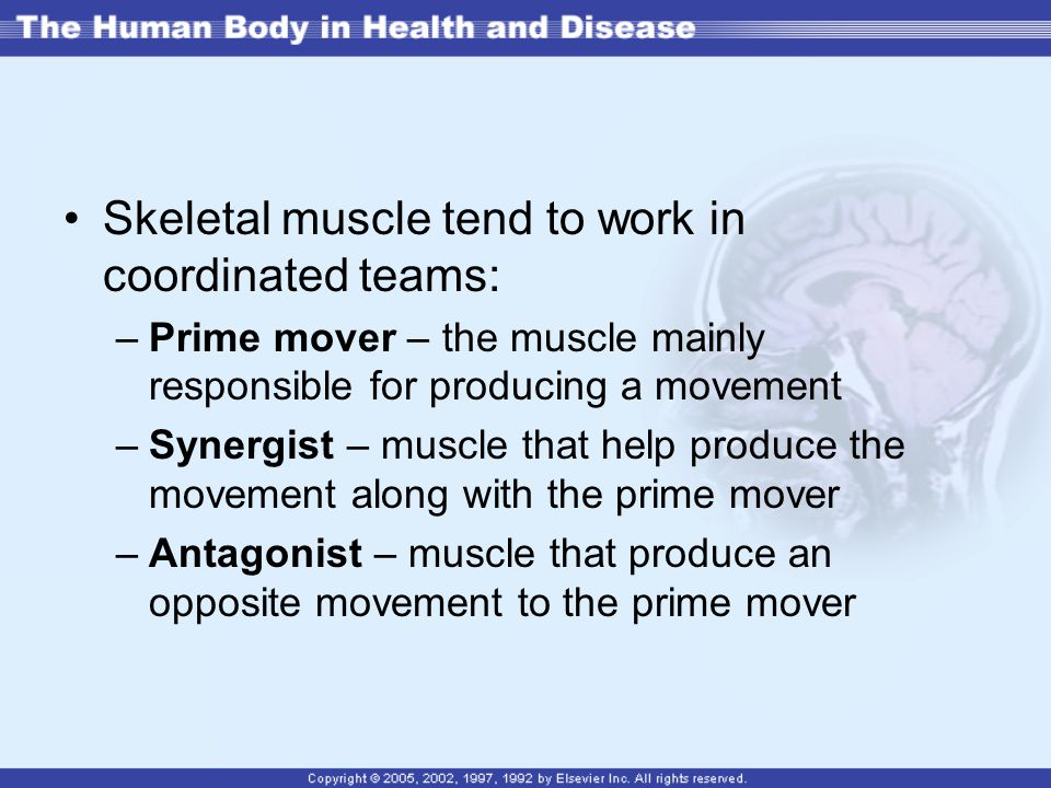 Skeletal muscle tend to work in coordinated teams: –Prime mover – the muscle mainly responsible for producing a movement –Synergist – muscle that help produce the movement along with the prime mover –Antagonist – muscle that produce an opposite movement to the prime mover