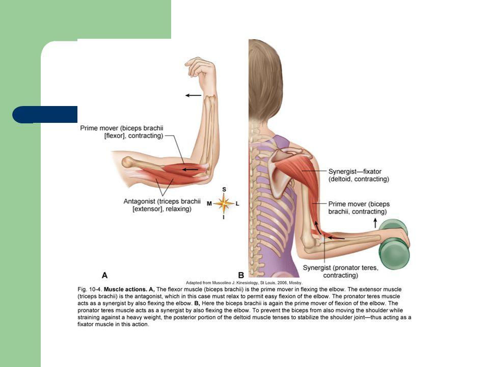 Enchanting Prime Movers Anatomy Gift - Image of internal organs of ...