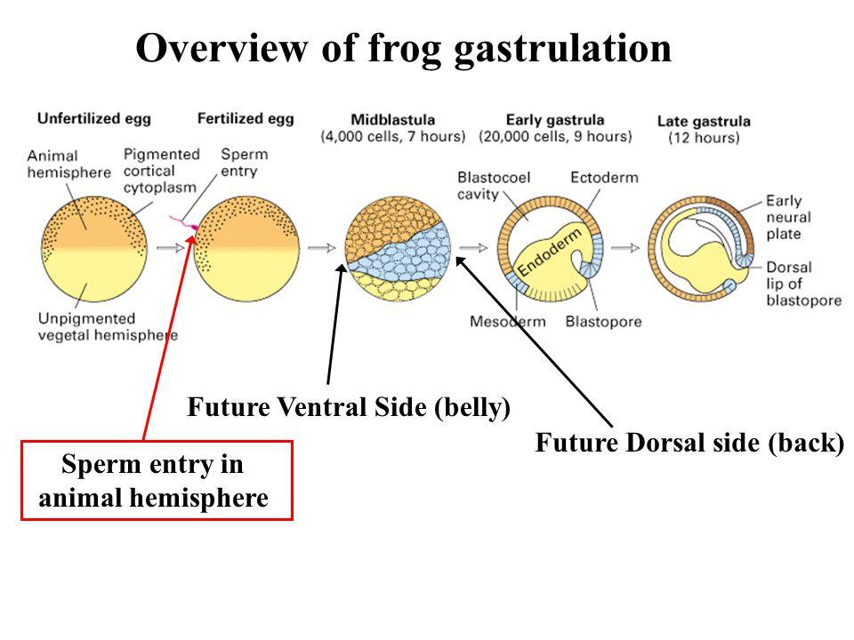 dorsal lip of blastopore of frog