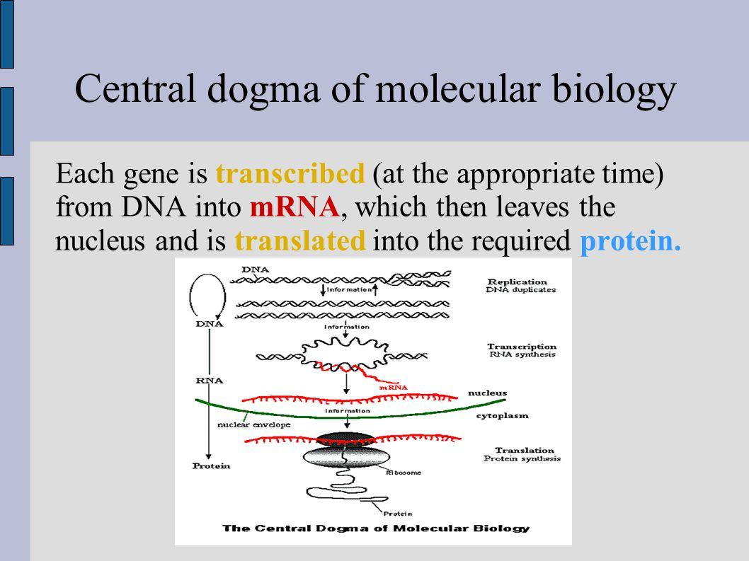 Central dogma of molecular biology Each gene is transcribed (at the appropriate time) from DNA into mRNA, which then leaves the nucleus and is translated into the required protein.
