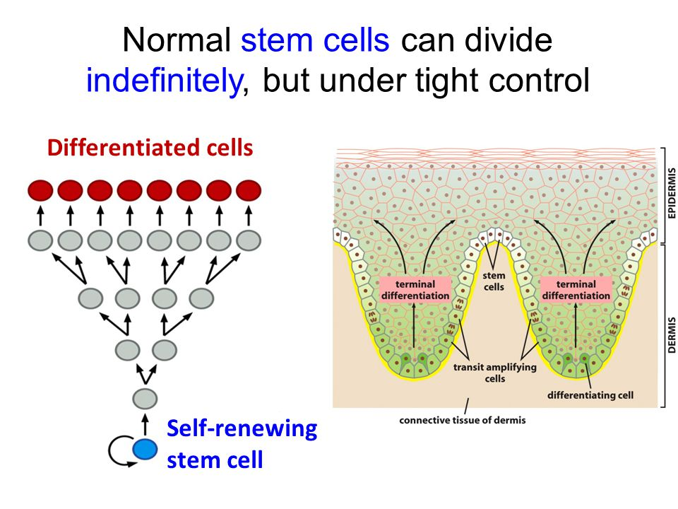 Normal stem cells can divide indefinitely, but under tight control Self-renewing stem cell Differentiated cells