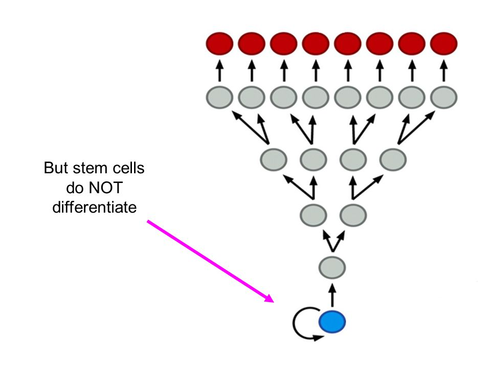 But stem cells do NOT differentiate