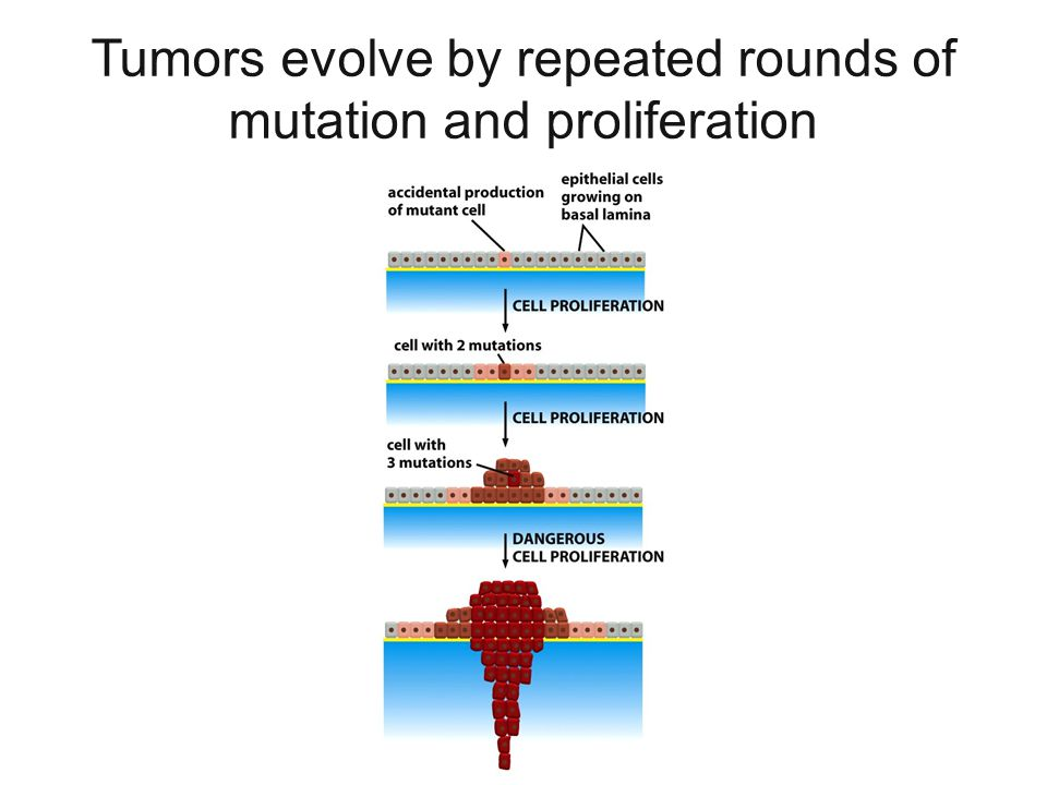 Tumors evolve by repeated rounds of mutation and proliferation