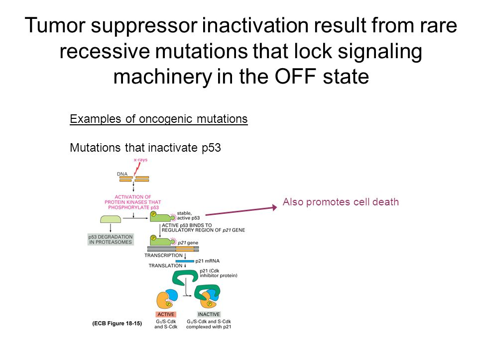 Tumor suppressor inactivation result from rare recessive mutations that lock signaling machinery in the OFF state Examples of oncogenic mutations Mutations that inactivate p53 Also promotes cell death