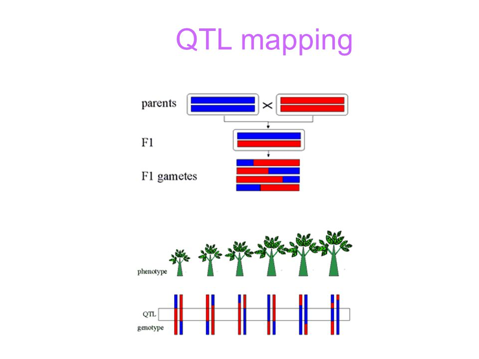 Bio 261 September 30, 2003 Todd Vision Genetic Mapping ... Qtl Mapping on marker assisted selection, gene mapping, copy-number variation, test cross, quantitative genetics, genetic linkage, dihybrid cross,