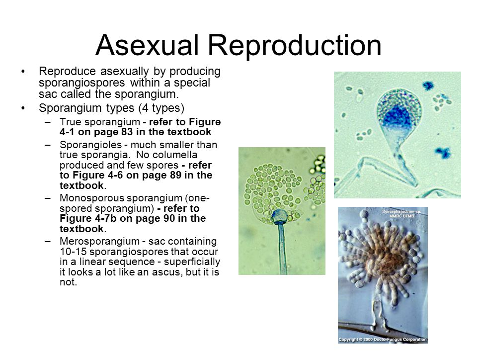 Zygomycetes asexual reproduction in plants