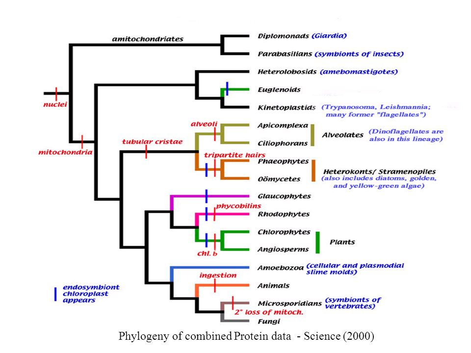 Phylogeny of combined Protein data - Science (2000)
