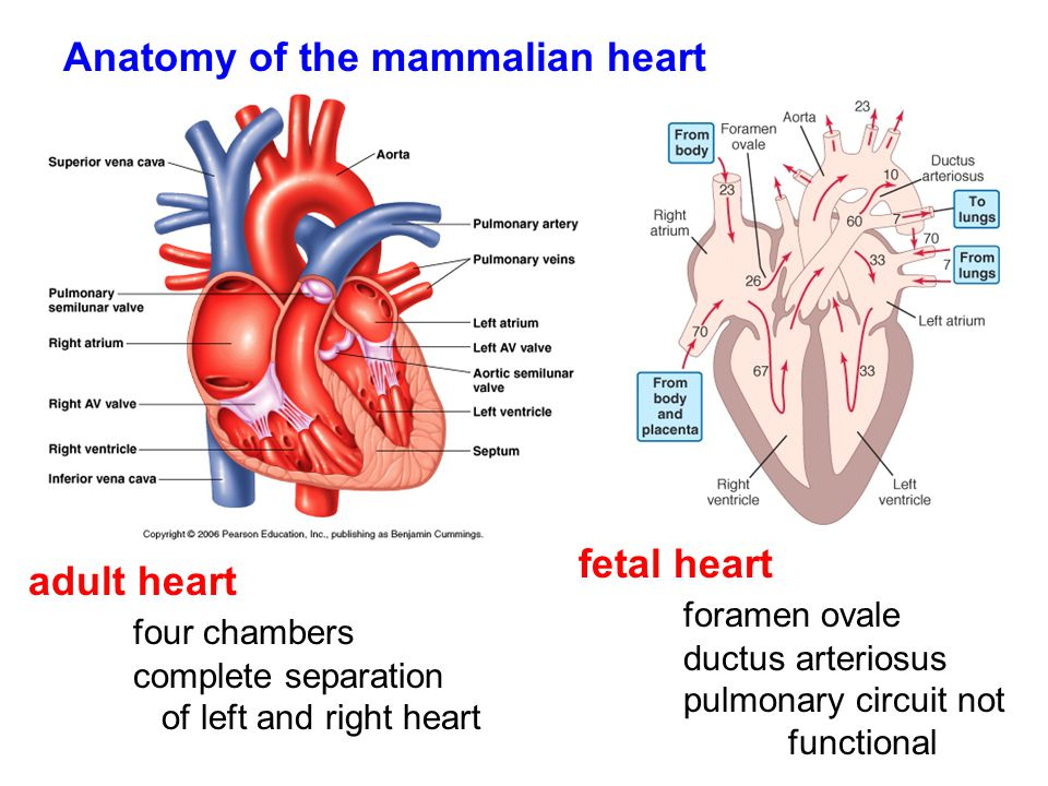 Mammal Heart Chambers Diagram - Easy-to-read Wiring Diagrams •