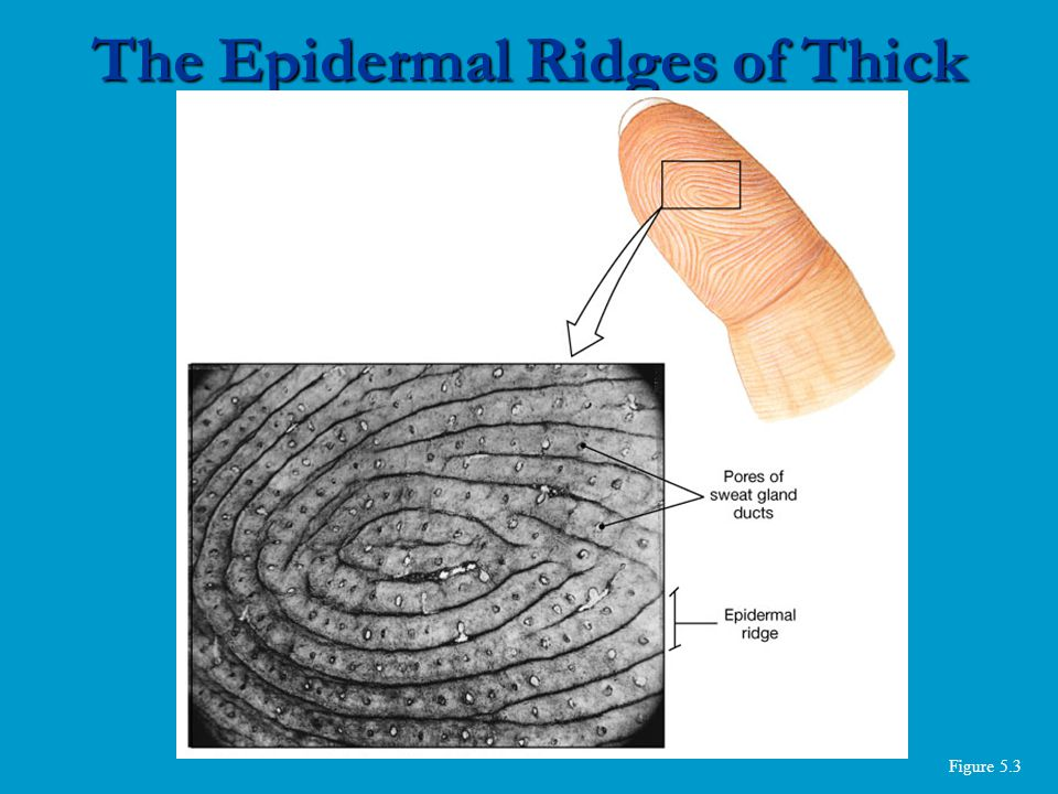 Figure 5.3 The Epidermal Ridges of Thick Skin