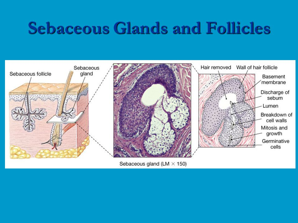 Sebaceous Glands and Follicles