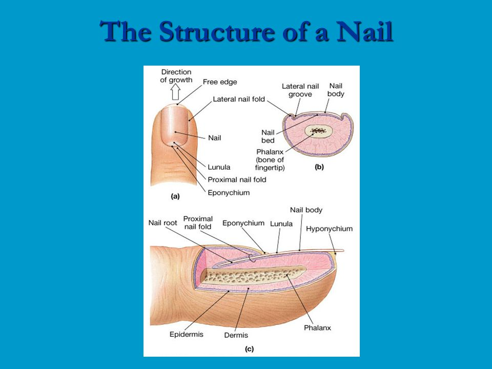 The Structure of a Nail