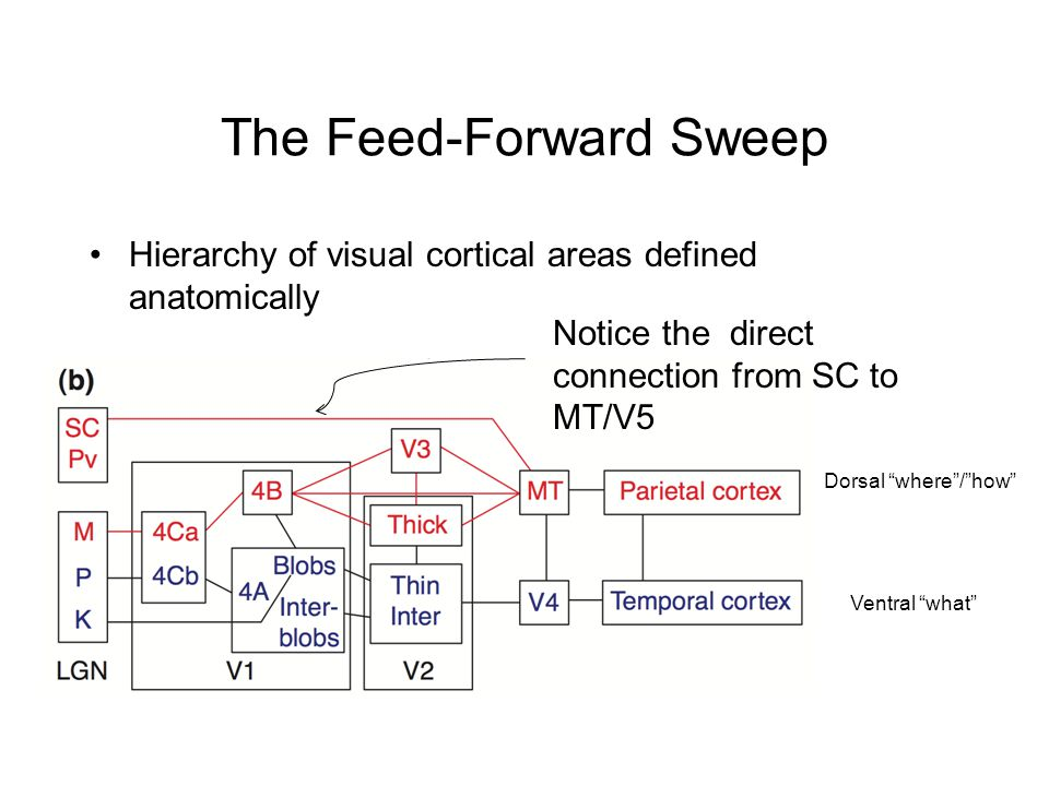 The Feed-Forward Sweep Hierarchy of visual cortical areas defined anatomically Dorsal where / how Ventral what Notice the direct connection from SC to MT/V5