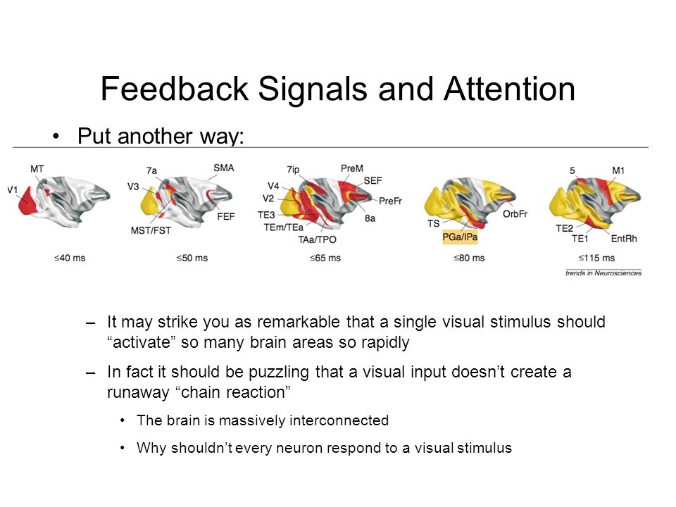 Feedback Signals and Attention Put another way: –It may strike you as remarkable that a single visual stimulus should activate so many brain areas so rapidly –In fact it should be puzzling that a visual input doesn't create a runaway chain reaction The brain is massively interconnected Why shouldn't every neuron respond to a visual stimulus