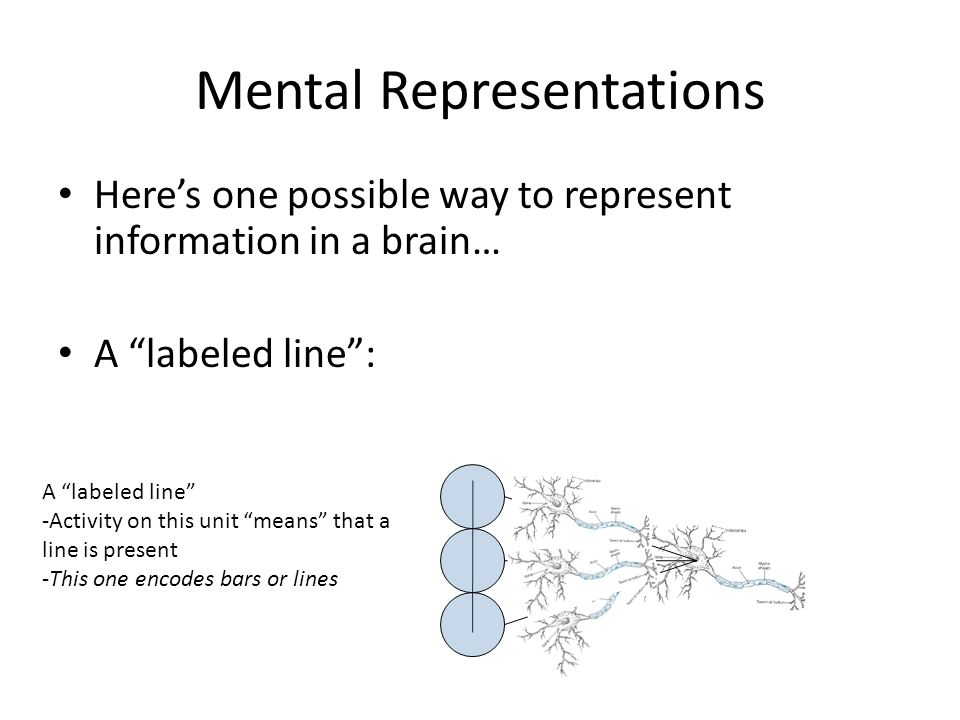 Mental Representations Here's one possible way to represent information in a brain… A labeled line : A labeled line -Activity on this unit means that a line is present -This one encodes bars or lines
