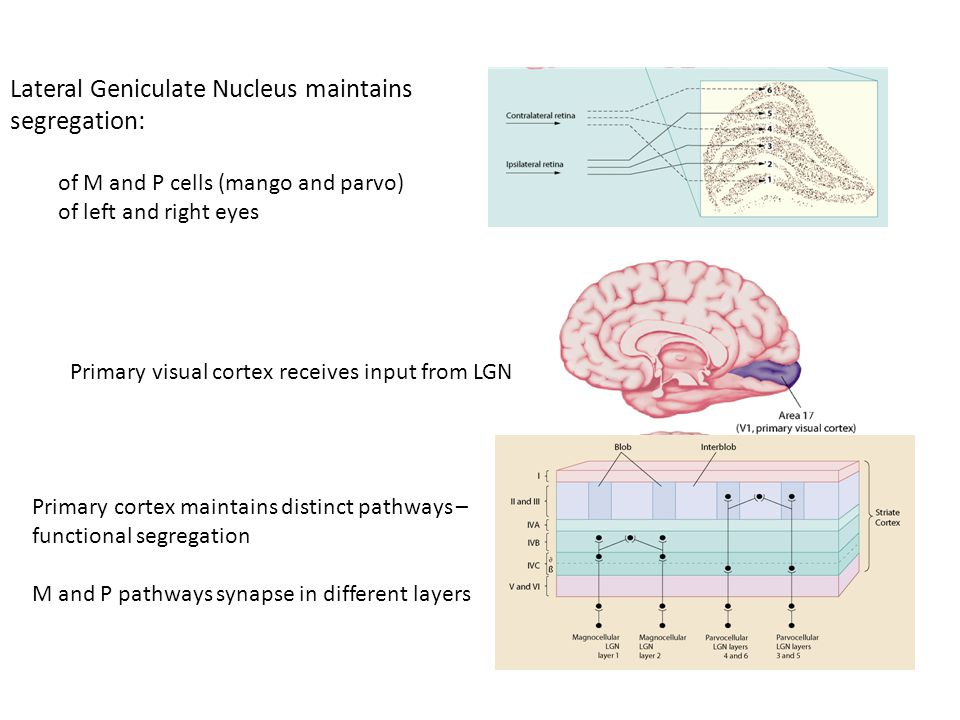 Lateral Geniculate Nucleus maintains segregation: of M and P cells (mango and parvo) of left and right eyes Primary visual cortex receives input from LGN Primary cortex maintains distinct pathways – functional segregation M and P pathways synapse in different layers