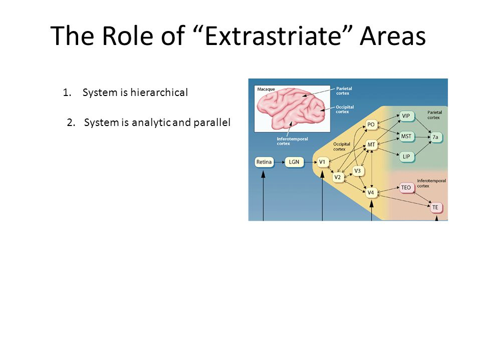 The Role of Extrastriate Areas 1.System is hierarchical 2. System is analytic and parallel
