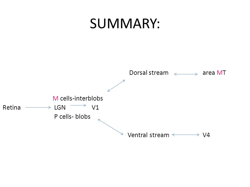 SUMMARY: Dorsal stream area MT M cells-interblobs Retina LGN V1 P cells- blobs Ventral streamV4