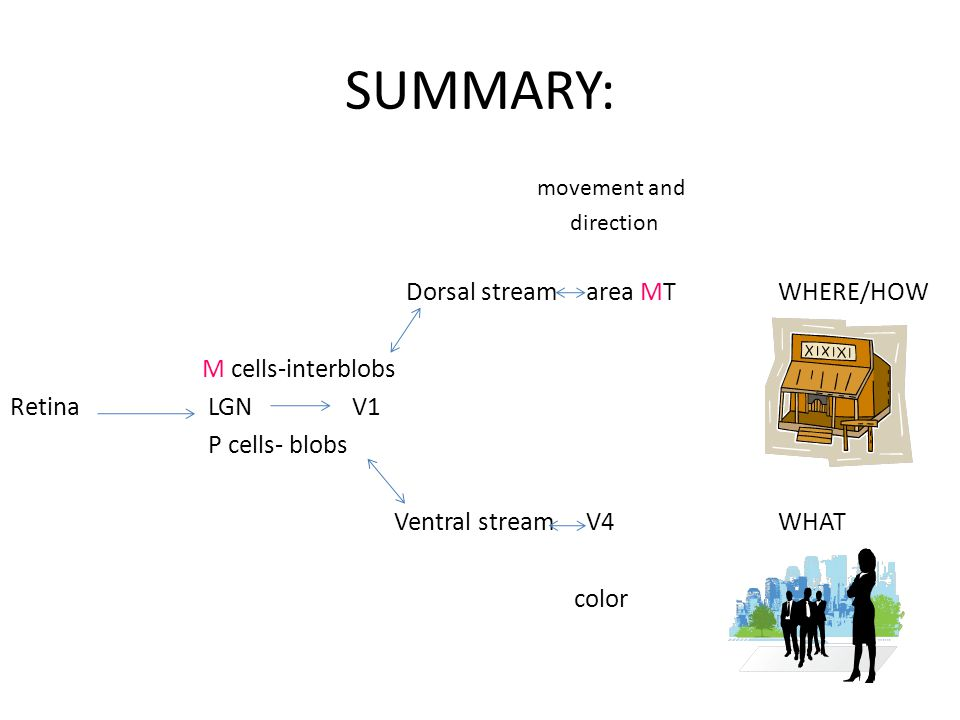 SUMMARY: movement and direction Dorsal stream area MT WHERE/HOW M cells-interblobs Retina LGN V1 P cells- blobs Ventral streamV4 WHAT color