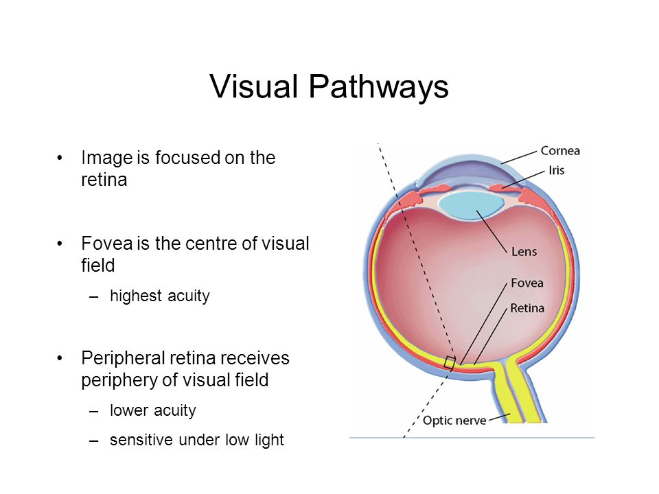 Visual Pathways Image is focused on the retina Fovea is the centre of visual field –highest acuity Peripheral retina receives periphery of visual field –lower acuity –sensitive under low light