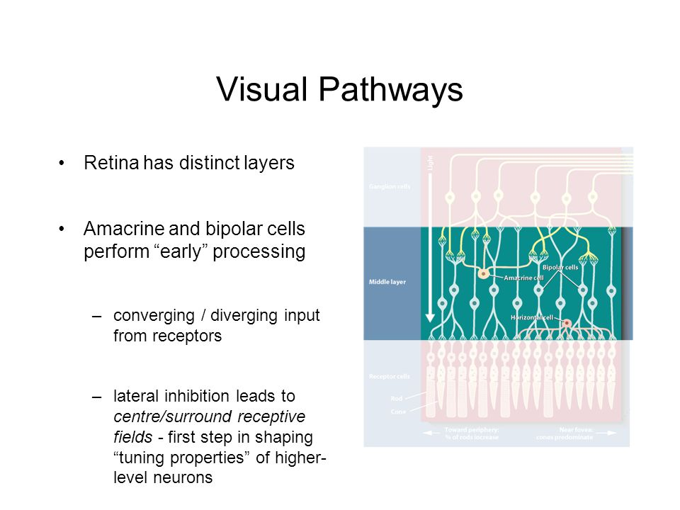 Visual Pathways Retina has distinct layers Amacrine and bipolar cells perform early processing –converging / diverging input from receptors –lateral inhibition leads to centre/surround receptive fields - first step in shaping tuning properties of higher- level neurons