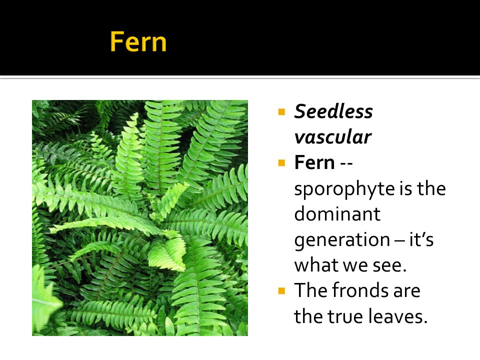  Seedless vascular  Fern -- sporophyte is the dominant generation – it's what we see.
