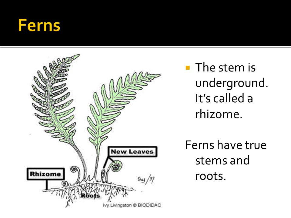  The stem is underground. It's called a rhizome. Ferns have true stems and roots.