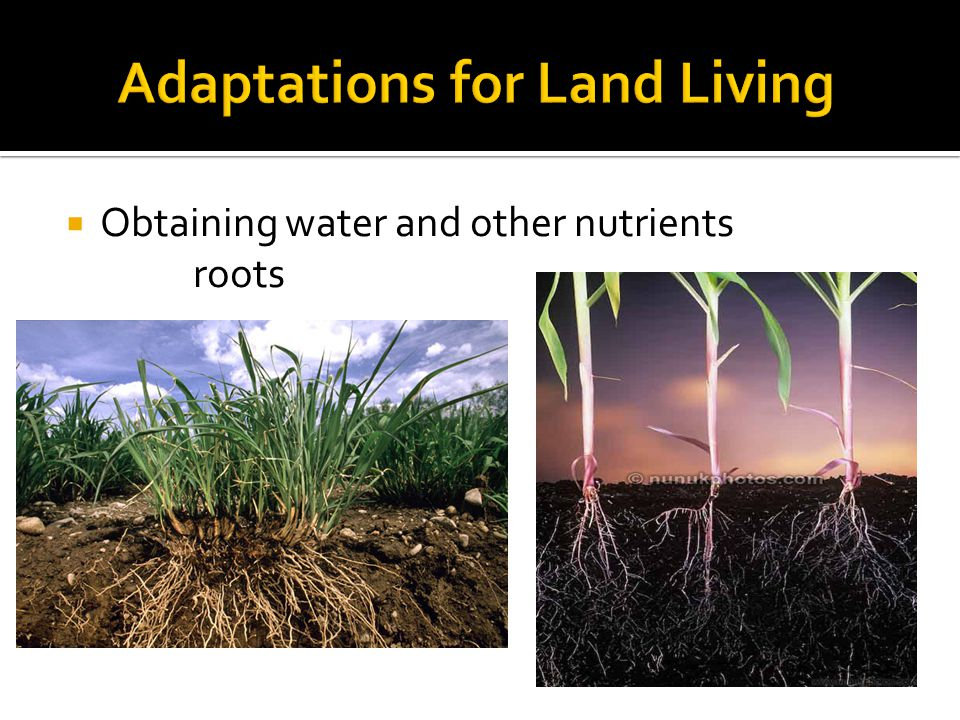  Obtaining water and other nutrients roots
