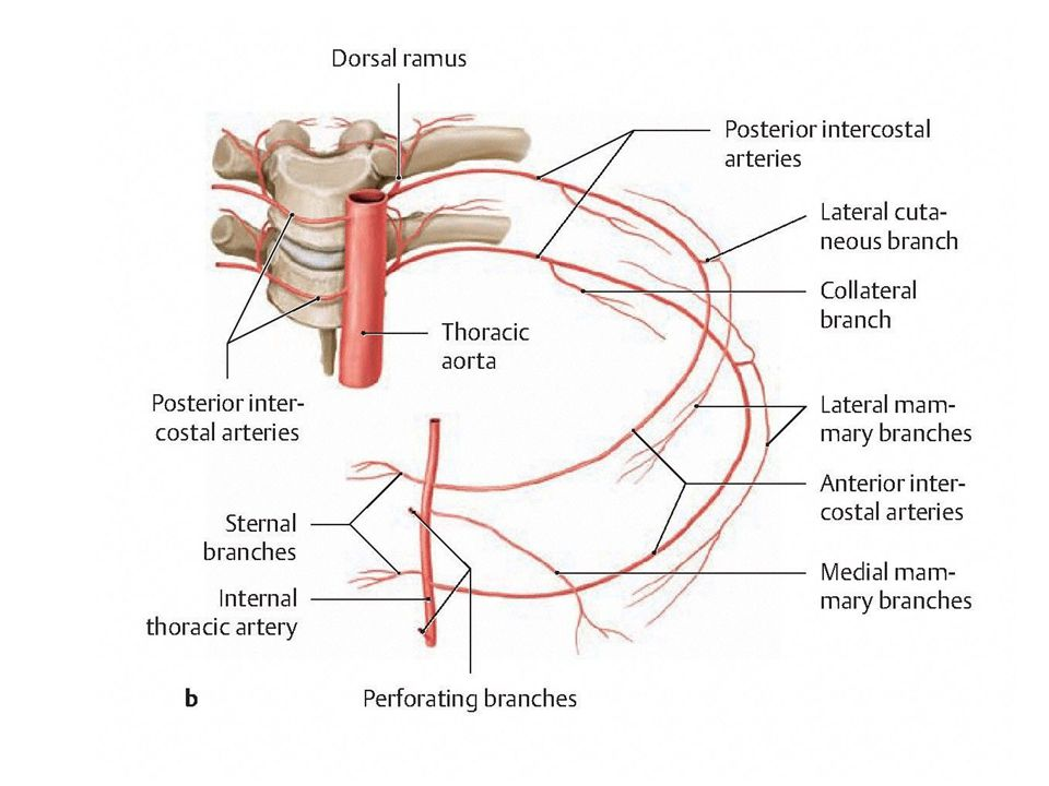Intercostal Arteries Diagram Application Wiring Diagram