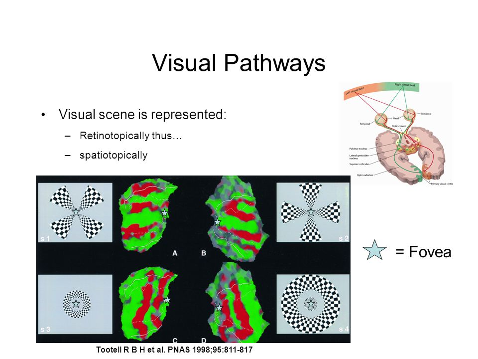 Visual Pathways Visual scene is represented: –Retinotopically thus… –spatiotopically = Fovea Tootell R B H et al.