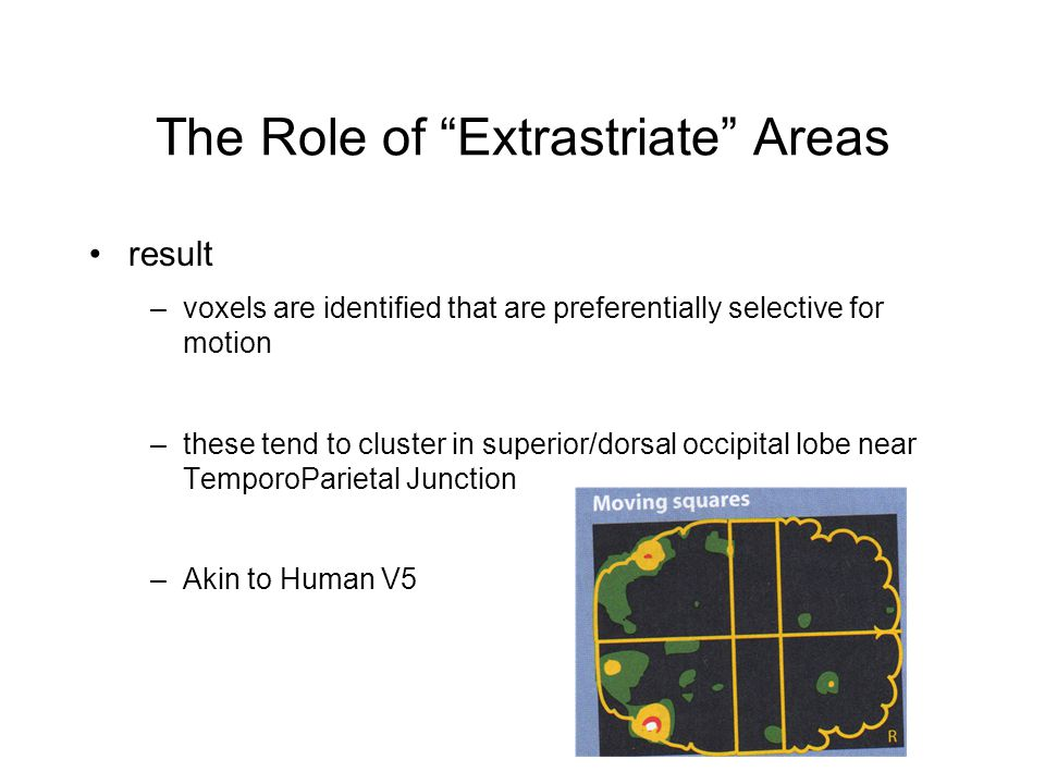 The Role of Extrastriate Areas result –voxels are identified that are preferentially selective for motion –these tend to cluster in superior/dorsal occipital lobe near TemporoParietal Junction –Akin to Human V5