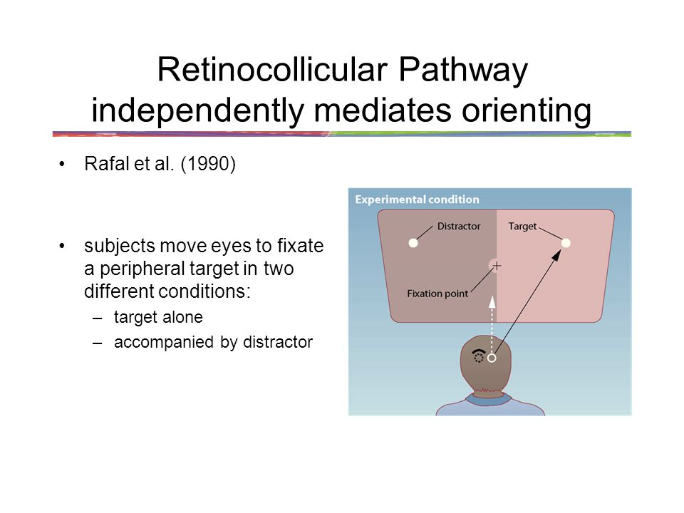 Retinocollicular Pathway independently mediates orienting Rafal et al.