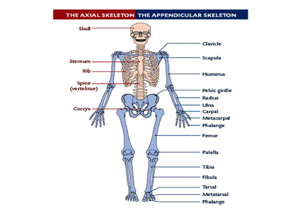 Chapter 2 Skeletal system. Anatomy and physiology Skeletal system ...