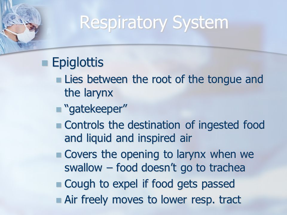 Respiratory System Epiglottis Epiglottis Lies between the root of the tongue and the larynx Lies between the root of the tongue and the larynx gatekeeper gatekeeper Controls the destination of ingested food and liquid and inspired air Controls the destination of ingested food and liquid and inspired air Covers the opening to larynx when we swallow – food doesn't go to trachea Covers the opening to larynx when we swallow – food doesn't go to trachea Cough to expel if food gets passed Cough to expel if food gets passed Air freely moves to lower resp.