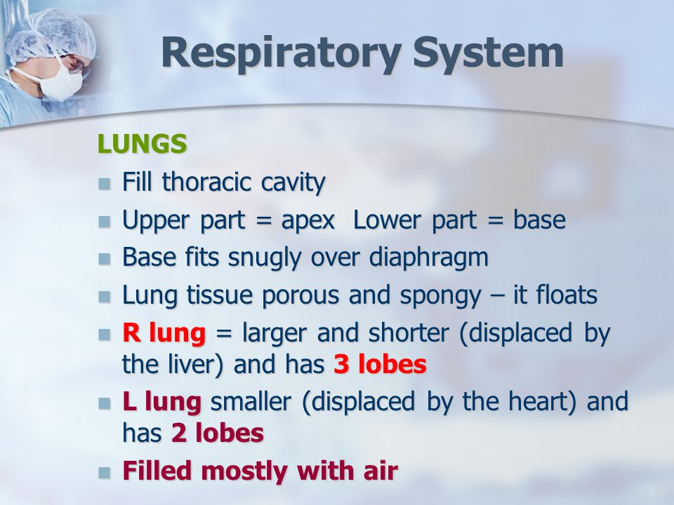 Respiratory System LUNGS Fill thoracic cavity Fill thoracic cavity Upper part = apex Lower part = base Upper part = apex Lower part = base Base fits snugly over diaphragm Base fits snugly over diaphragm Lung tissue porous and spongy – it floats Lung tissue porous and spongy – it floats R lung = larger and shorter (displaced by the liver) and has 3 lobes R lung = larger and shorter (displaced by the liver) and has 3 lobes L lung smaller (displaced by the heart) and has 2 lobes L lung smaller (displaced by the heart) and has 2 lobes Filled mostly with air Filled mostly with air