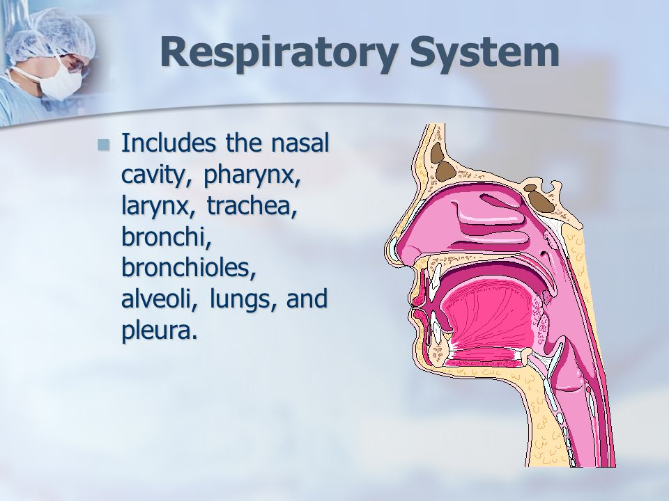 The Respiratory System Respiratory System Includes The Nasal Cavity
